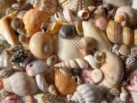 Shelling in Sanibel Island and Captiva Island